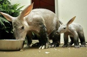 Aardvarks